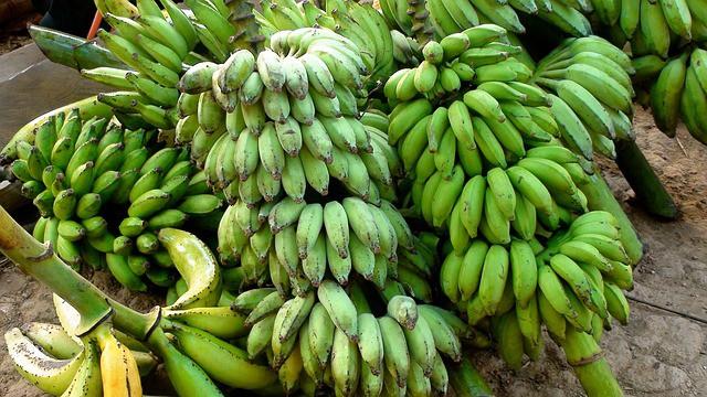 harvesting bananas