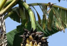 banana_disease image